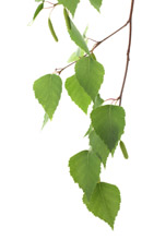 Broad Leaf Tree Branch
